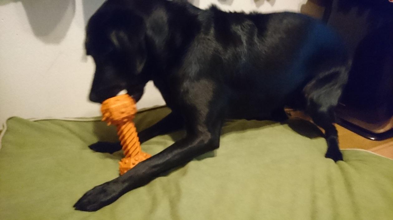 太田の愛犬チェルシー、知育玩具で遊ぶの図