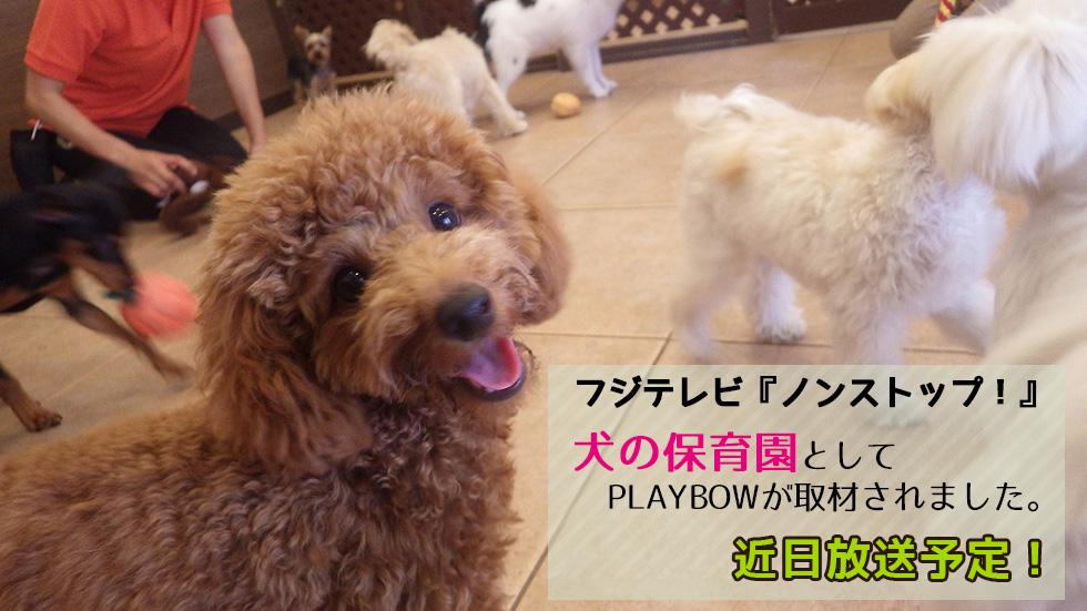 フジテレビ『ノンストップ!』に犬の保育園としてPLAYBOWが取材されました。